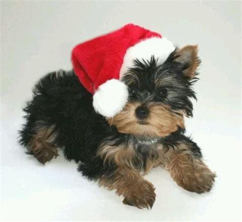 Images Of Christmas Yorkies | christmas yorkies yorkies pinterest