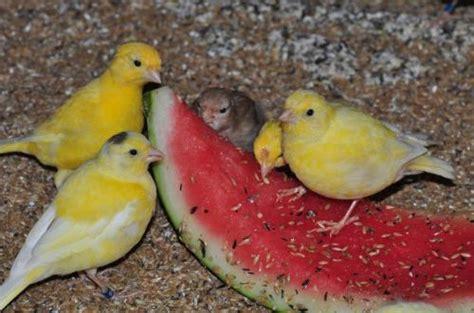 alimentazione canarini gialli alimentazione fife fancy e canarini di forma e posizione