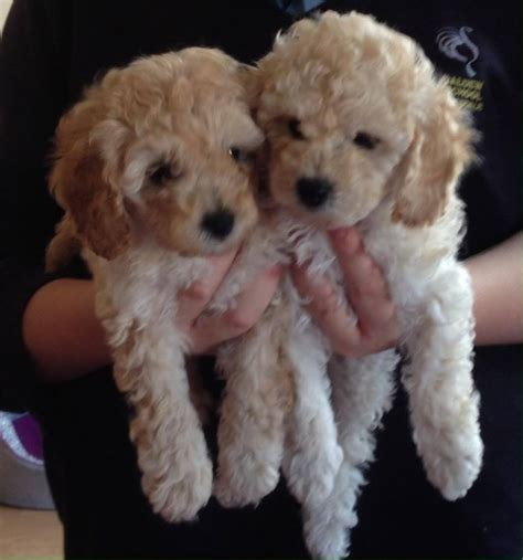 dogs for sale cumbria toy for dog toy for dog 1 girl cream toy poodle for sale carlisle cumbria