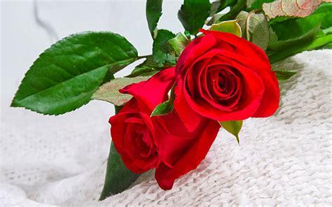 wallpaper rose bergerak 9 wallpaper bunga mawar merah deloiz wallpaper
