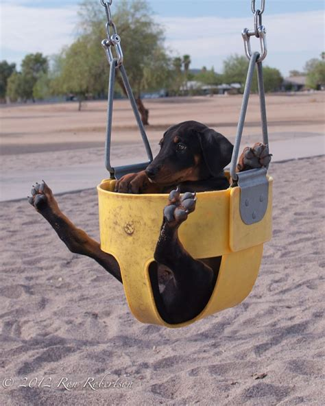 why swinging 10 reasons why you should never own doberman pinschers