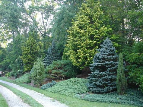 green tree landscaping mixed evergreen tree screen conifers trees