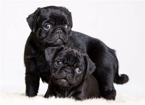 black pug wallpaper 200 best pug wallpaper screensaver images on pug wallpaper pug