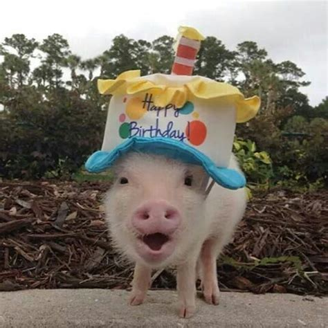 Happy Birthday Pictures With Pigs happy birthday pig birthday anniversary