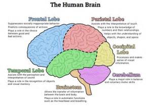 the human brain diagram preview addiction pinterest