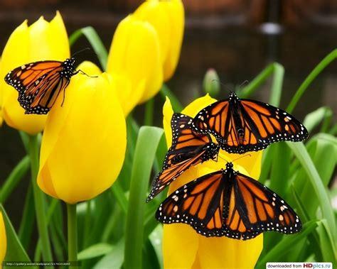 sfondi desktop fiori e farfalle scaricare gli sfondi farfalle sui fiori tulipani gialli