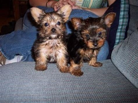 free puppies in vermont pets bennington vt free classified ads