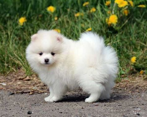 pomeranian ontario adorable pedigree pomeranian puppies adorable pedigree pomeranian puppies for sale