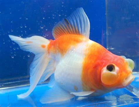 google images fish 1000 images about goldfish on pinterest eyes the