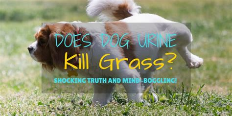 urine killing grass does urine kill grass shocking and mind boggling