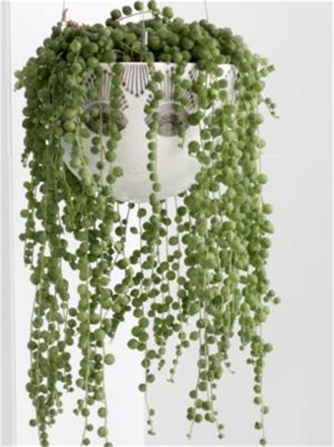 rosary bead plant how to grow and care for the string of pearls plant
