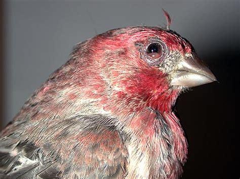 house finch conjunctivitis house finch eye disease feederwatch