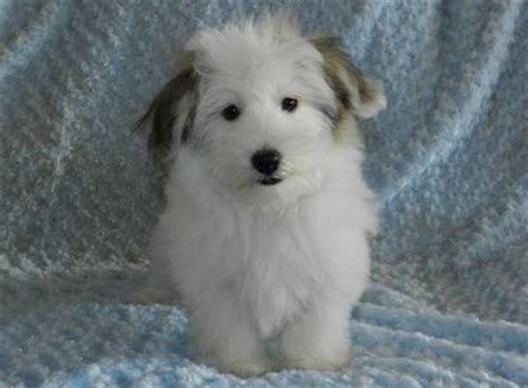 havanese indiana havanese puppies for sale indianapolis and south bend indiana family puppies