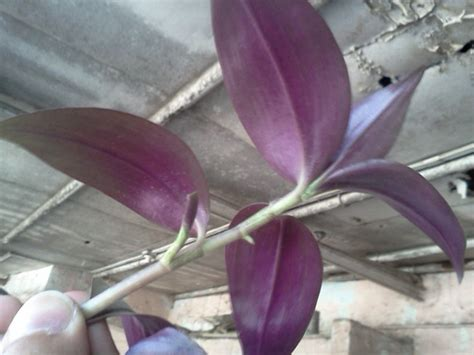identification what is the name of this purple leaved hanging plant gardening landscaping