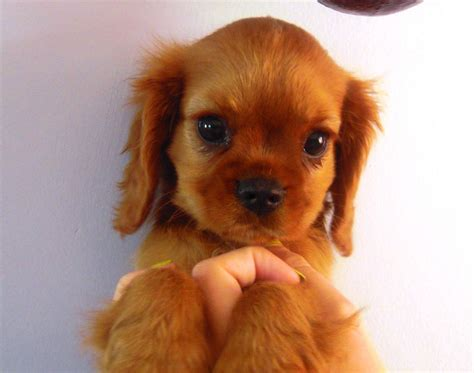ruby cavalier king charles spaniel puppies for sale lovely ruby kc cavalier king charles spaniel bungay suffolk pets4homes