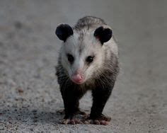 what does not in my backyard mean possum love on pinterest opossum virginia and animals