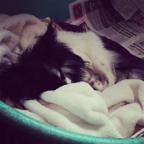 papillon chihuahua mix puppies for sale beautiful chihuahua papillon mix pups for sale princes risborough buckinghamshire