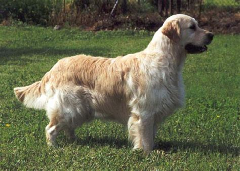 ashbury golden retrievers chiot alsace elevage ashbury chiens colley 224 poil