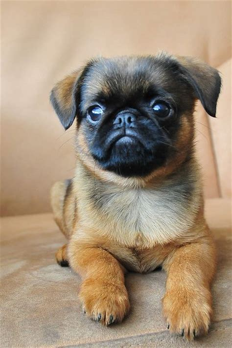 mixed pugs 25 best ideas about pug mix on pug mixed breeds cutest mixes and pugs