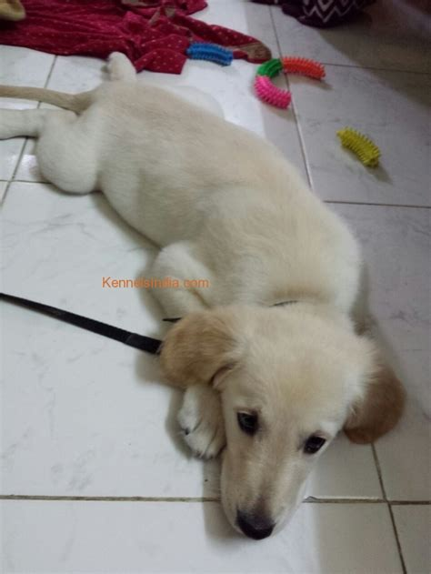 golden retriever price in india mumbai golden retriever puppy for sale in mumbai