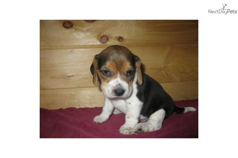beagle puppies for adoption beagle puppy for sale near southeast missouri missouri f5935f5a 9441