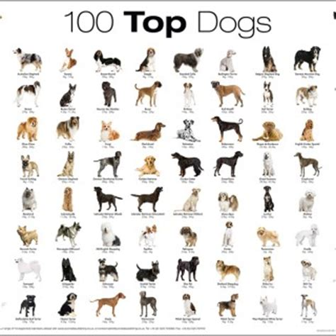 Top 100 Dog Breed Poster   Litle Pups