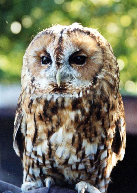 tawny owl screech owl wildlife park