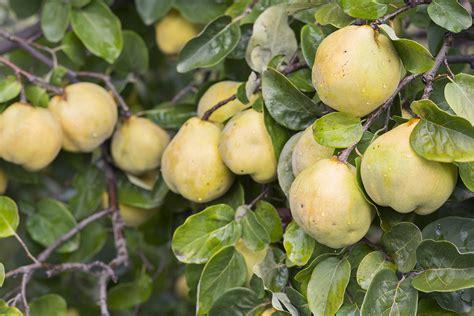fruit trees for sale fruit trees for sale organic buy fruit trees