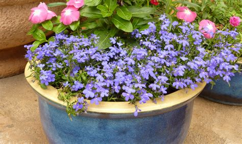 Trailing Foliage Plants For Hanging Baskets - landscape use excellent edging annual for winter flower gardens mixed borders and mass color