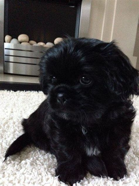 sad shih tzu puppy boomer 8 week shih tzu for adoption at pro dogs direct sooo freakin