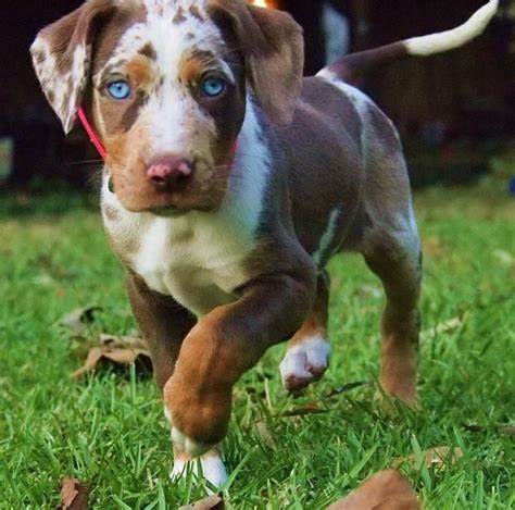 catahoula cur puppies 118 best images about catahoula leopard on best dogs and 1 year olds