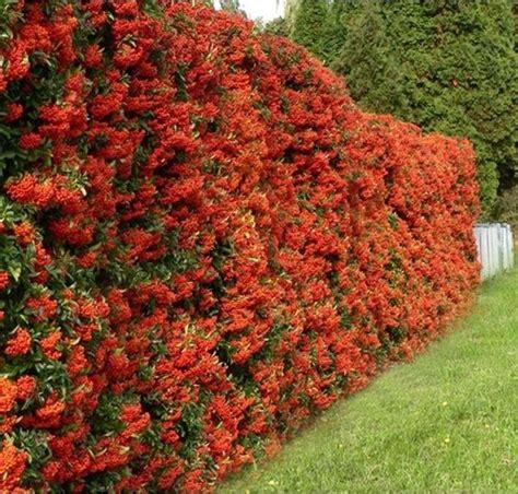 siepi fiorite da giardino siepe pyracantha siepi caratteristiche della siepe