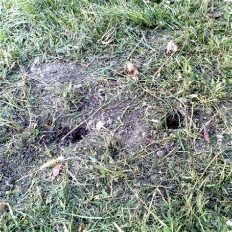 ratti in giardino talpe o arvicole aiuto il mio giardino 232 pieno di buchi