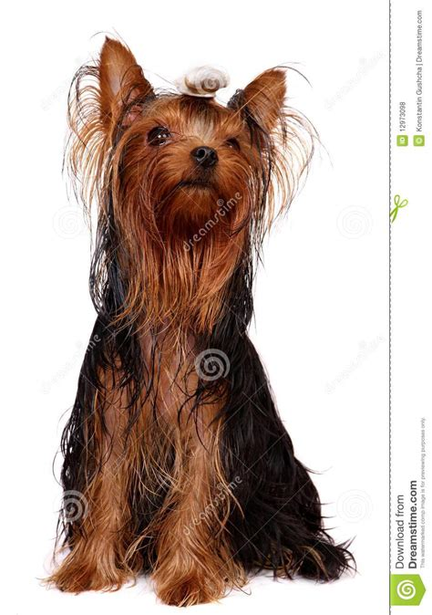 yorkie with hair yorkie with hair royalty free stock photos image 12973098