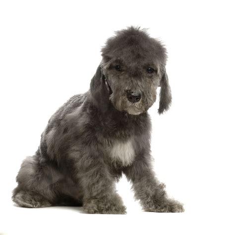 bedlington terrier puppies bedlington terrier breed guide learn about the bedlington terrier