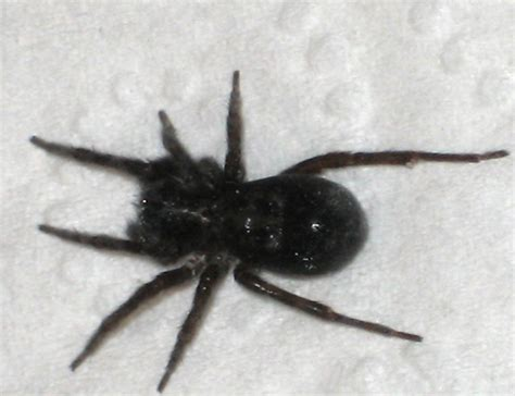 black house spider spiders at spiderzrule the best site in the world about spiders redbacks huntsmen