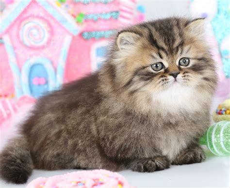 Rug Hugger Kittens For Sale by Rug Hugger Kittens Rug Huggersultra