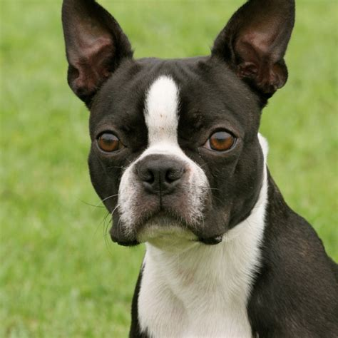 boston terrier boston terrier breed information and facts