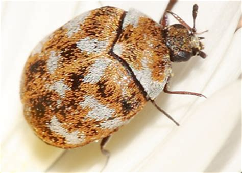 carpet beetles in couch carpet beetles how to kill and get rid of carpet beetles