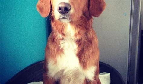 setter cross dog rescue harry 6 9 month old male irish setter cross dog for adoption