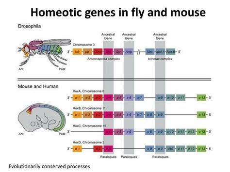 Homeotic Pattern Formation | ppt pattern formation in drosophila powerpoint