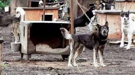 Crazy Houses iditarod dog kennel horrors sled dog action coalition