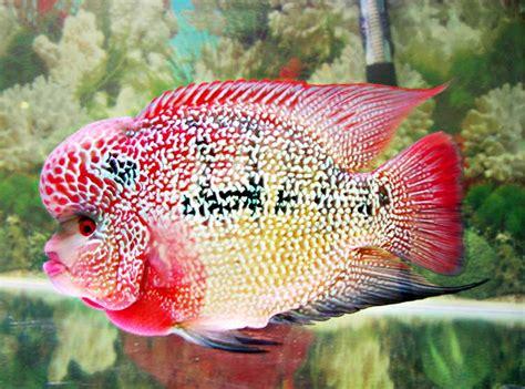 Pakan Ikan Louhan Protein Tinggi cara pilih pakan louhan bebeja