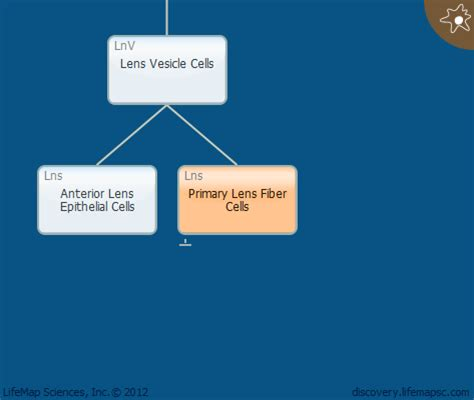 mysql date format without leading zeros primary lens fiber cells development in the lens lifemap