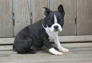 boxer boston terrier mix puppies for sale boston terrier puppies nz