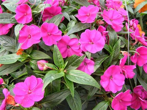 fiore nuova guinea impatiens nuova guinea fiori in giardino coltivare
