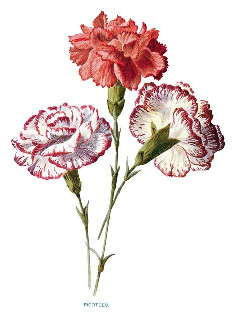 vintage carnation flowers clip art  design shop blog