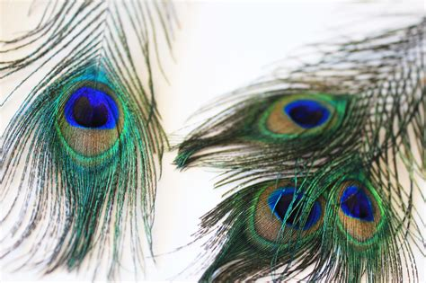 peacock background peacock feather wallpapers wallpaper cave