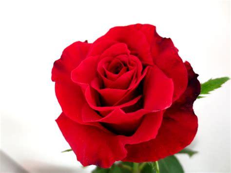 fiori per san valentino fiori per san valentino consegna di fiori e a