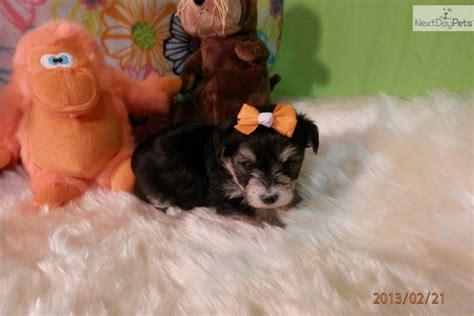 yorkie puppies for sale pittsburgh yorkiepoo yorkie poo puppy for sale near pittsburgh pennsylvania 9774ef86 ed91